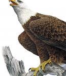 Vulturul pleșuv - Responsabilitate